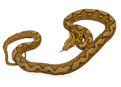 Sunfire Purple Albino Reticulated Python