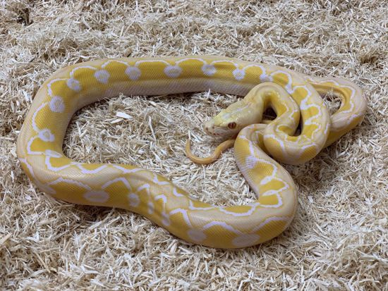 Picture of Sunfire White Albino Reticulated Python